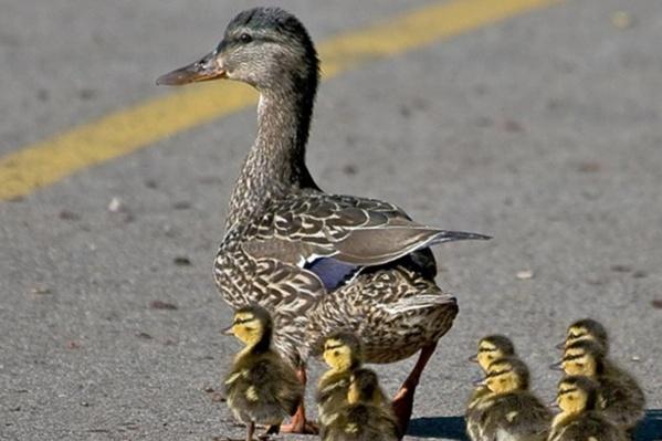 Утиная семья направлялась к водоему