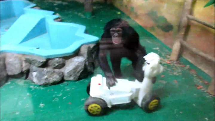 Страсти в зоопарке: шимпанзе Филя и Люся повздорили из-за коня на колёсах