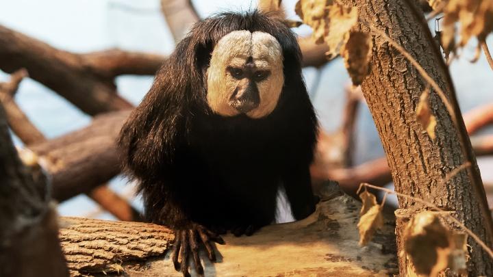 В Новосибирском зоопарке поселились эксклюзивные обезьяны из Германии
