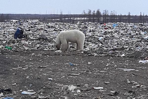 Вышедший к людям белый медведь ищет еду на свалке