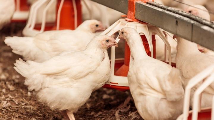 За разбросанный куриный помёт челябинский агрохолдинг заплатил 18 миллионов рублей