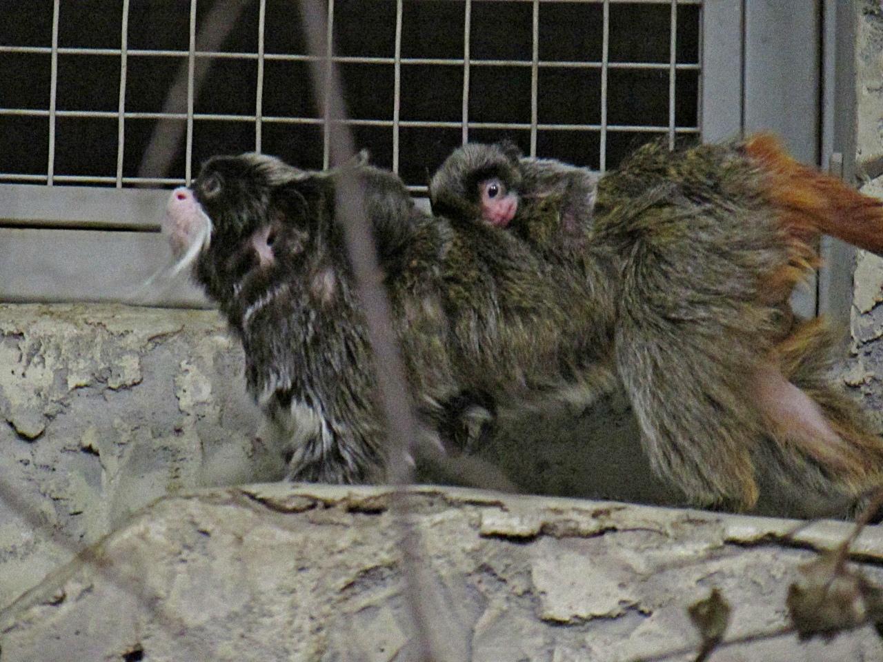 Императорские тамарины размножаются в Новосибирском зоопарке с 2016 года