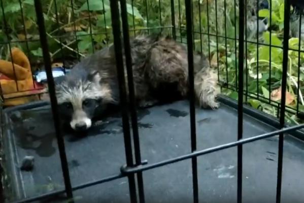 Волонтеры назвали зверька Бесподобный Мистер Енот. Его отвезли к ветеринару, а затем выпустили в лес<br>