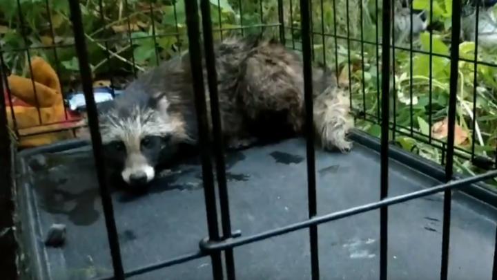 Пермские зоозащитники спасли енотовидную собаку, которую продавали в интернете