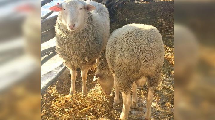 В Ярославской области пропавших овечек решили искать квадрокоптером