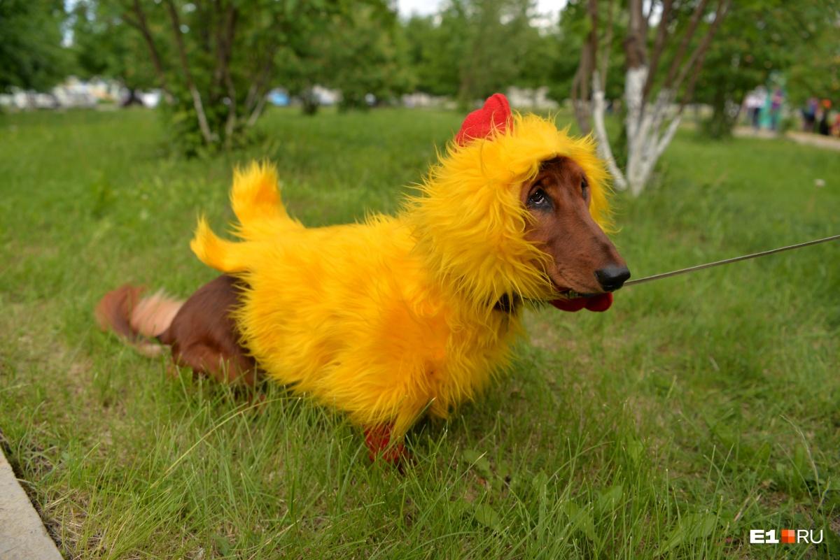 Такса-цыпленочек