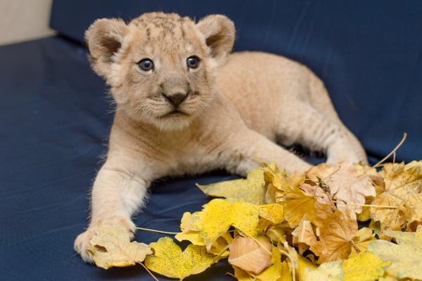Маленького львенка назвали Араксом