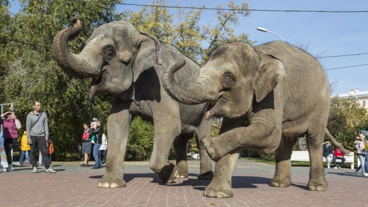 «Танцевали и ели мороженое»: прогулка слонов по центру Волгограда — в фоторепортаже V1.RU