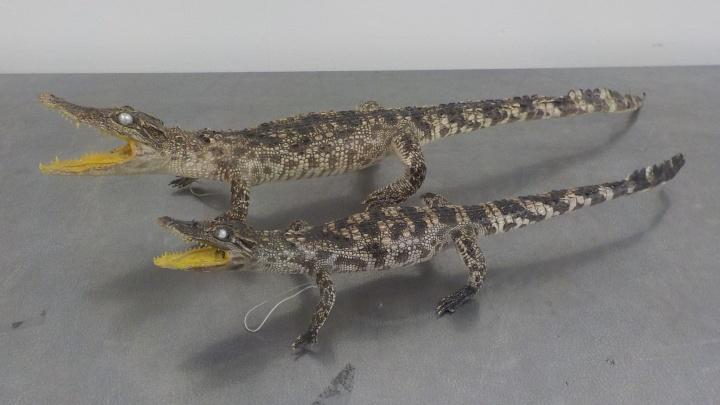 В Самаре на таможне задержали чучела сиамских крокодилов