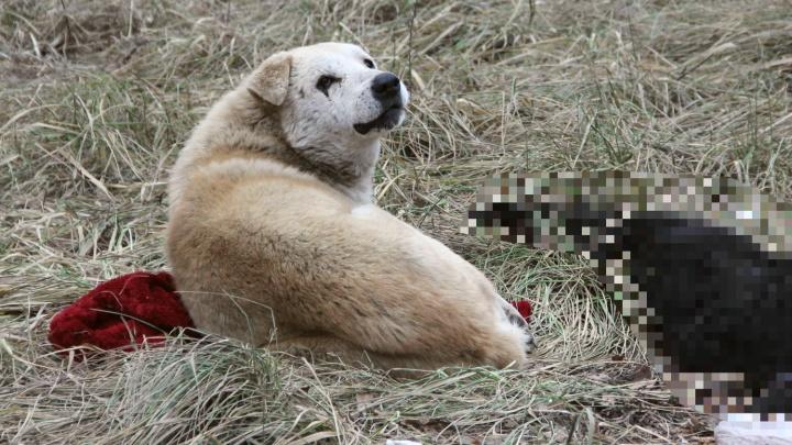 «Воет и не встаёт»: в Ярославле пёс трое суток охраняет погибшую под машиной собаку