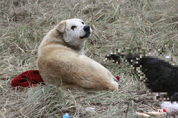 Пёс уже трое суток лежит возле сбитой собаки