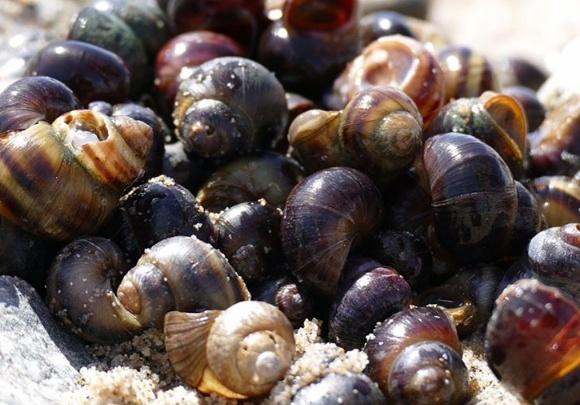 На берег Обского моря выбросило сотни красивых фиолетовых моллюсков