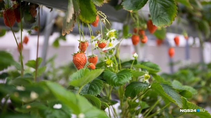 Яркие, спелые, наши: показываем, как в Красноярске выращивают клубнику без земли