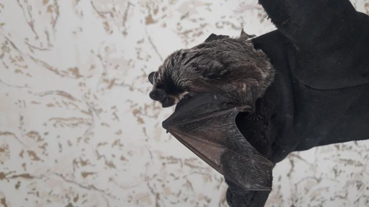 Красноярцы выхаживают летучую мышь, которая случайно залетела в окно. У крохи нашли травму