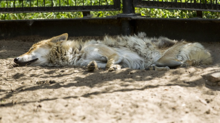 Всех сморило: как звери в зоопарке переживают жару (вы будете завидовать лемуру)