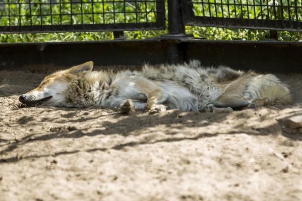 Волки спят без задних лап