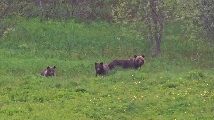 «Сидит и лопает морковку культурно»: жители Лешуконья боятся выходить из дома из-за медведей