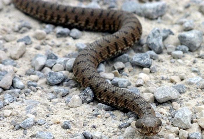 Охранник заметил ядовитую змею неподалёку от жилых домов