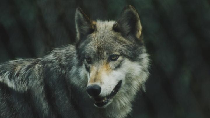 В Прикамье ввели премию за добычу волков, чтобы снизить их число и обезопасить людей