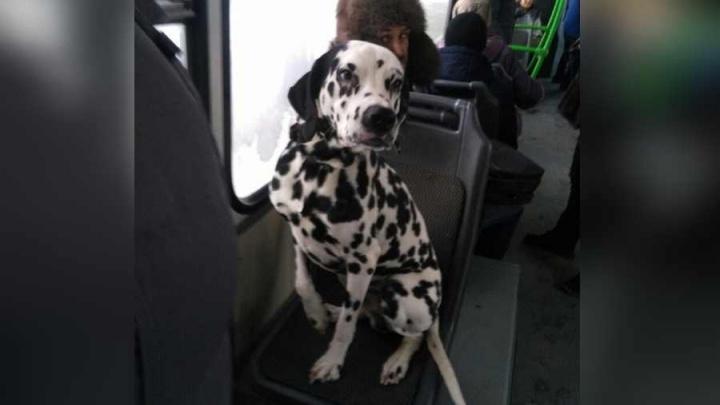 Одинокий далматинец ездит в автобусах Красноярска в поисках хозяина