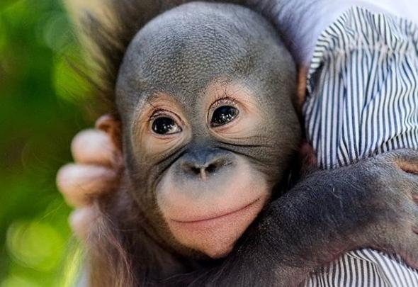 Будет москвичом: Новосибирский зоопарк отправляет в столицу орангутана со сложной судьбой