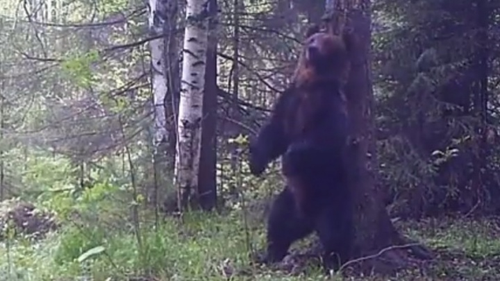Танцующий медведь Ферапонт из Висимского заповедника показал свою подругу