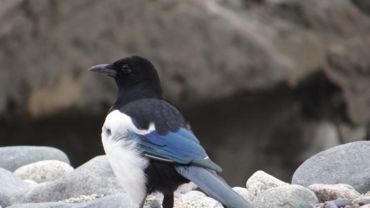 Дикие птицы начали искать в Новосибирске места для новых гнёзд