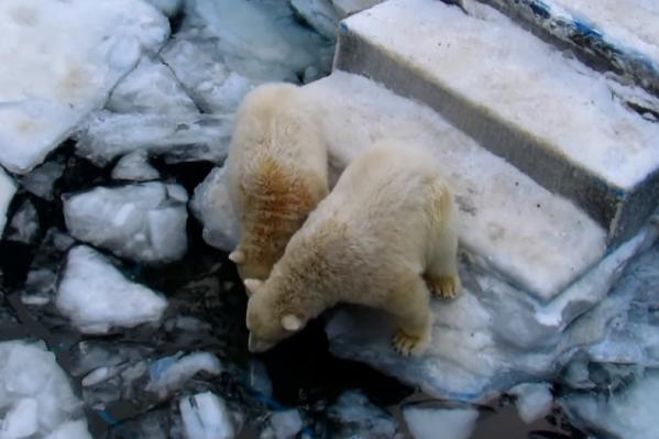 Медвежата так и не рискнули нырнуть в ледяную воду
