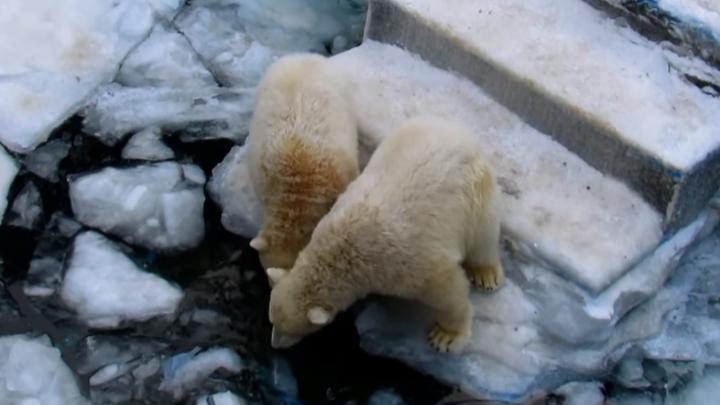 В новосибирском зоопарке сняли смешное видео, как медвежата-двойняшки исследуют льдины