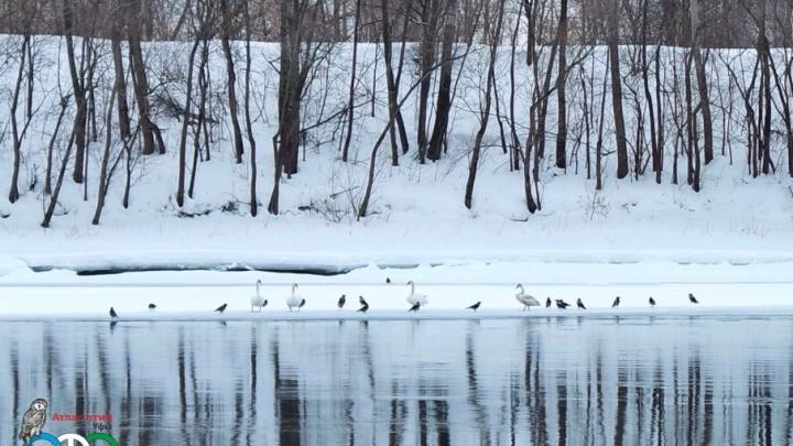 На реке в Уфе заметили лебедей-шипунов