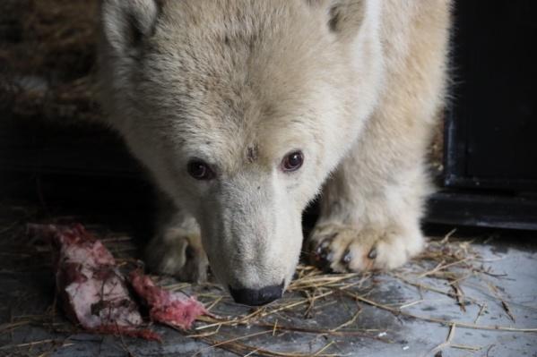 Медведица Урсула ещё подросток