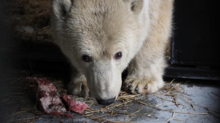 «Подросла и набрала вес»: юная медведица из Диксона устроилась в красноярском зоопарке
