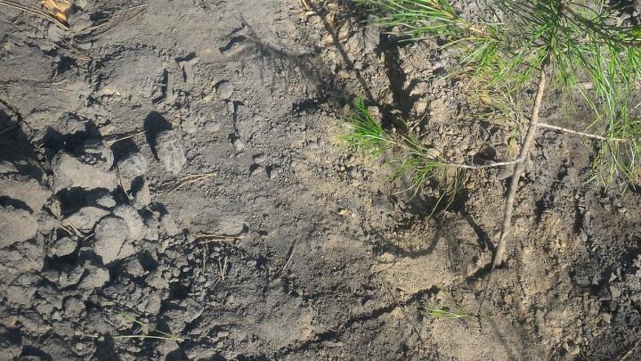 В Чемском бору посадили сосны — спустя пару дней по ним ездят машины