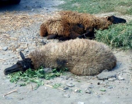 Волгоградские приставы весь день взвешивали отобранных 1700 баранов