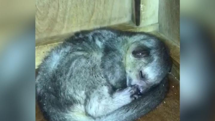 «Очень привязан к маме»: челябинцам показали родившегося в зоопарке «медового мишку»