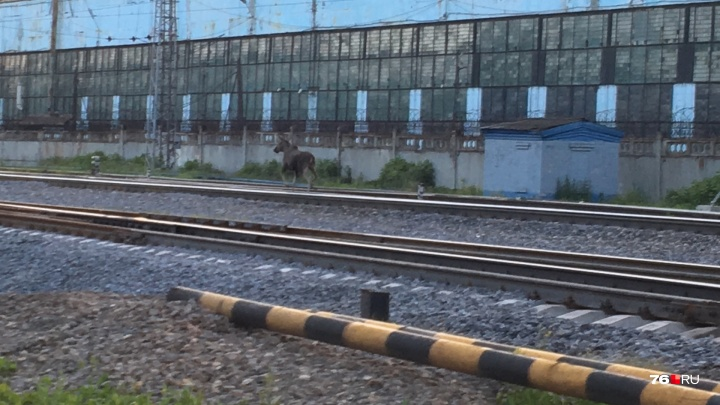 Побежал вдоль путей: по Ярославлю разгуливал молодой лось
