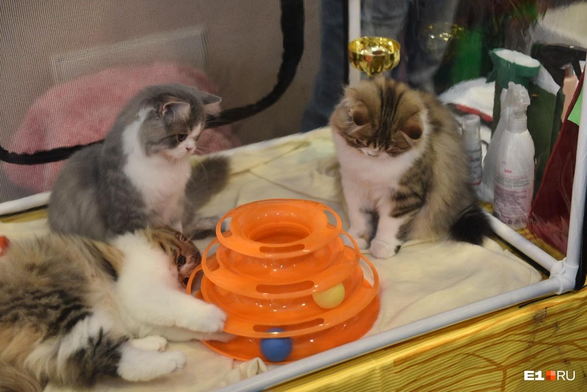 Чтобы котикам не было скучно на выставке, им принесли игрушки