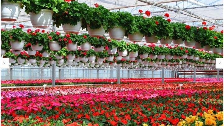 «Цены в России в два-три раза выше»: поляки предложили построить на Южном Урале цветочные теплицы