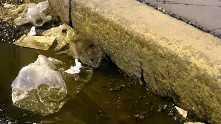 В Уфе крысы атакуют помойки и кошек