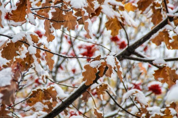 Первый снег, который выпал в Тюмени 14 октября. Вот так выглядели листья дуба под снегом на улице Холодильной