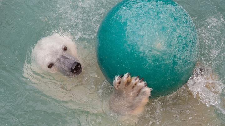 В «Роевом ручье» опубликовали фото умилительных игр и рыбалки белых медведей