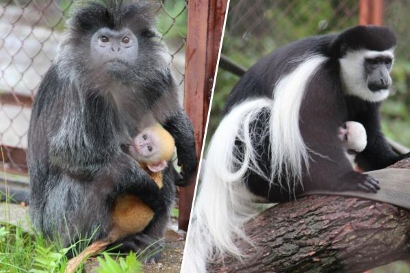 Обезьянки-мамы с малышами: лангур Джулия и колобус Дуся