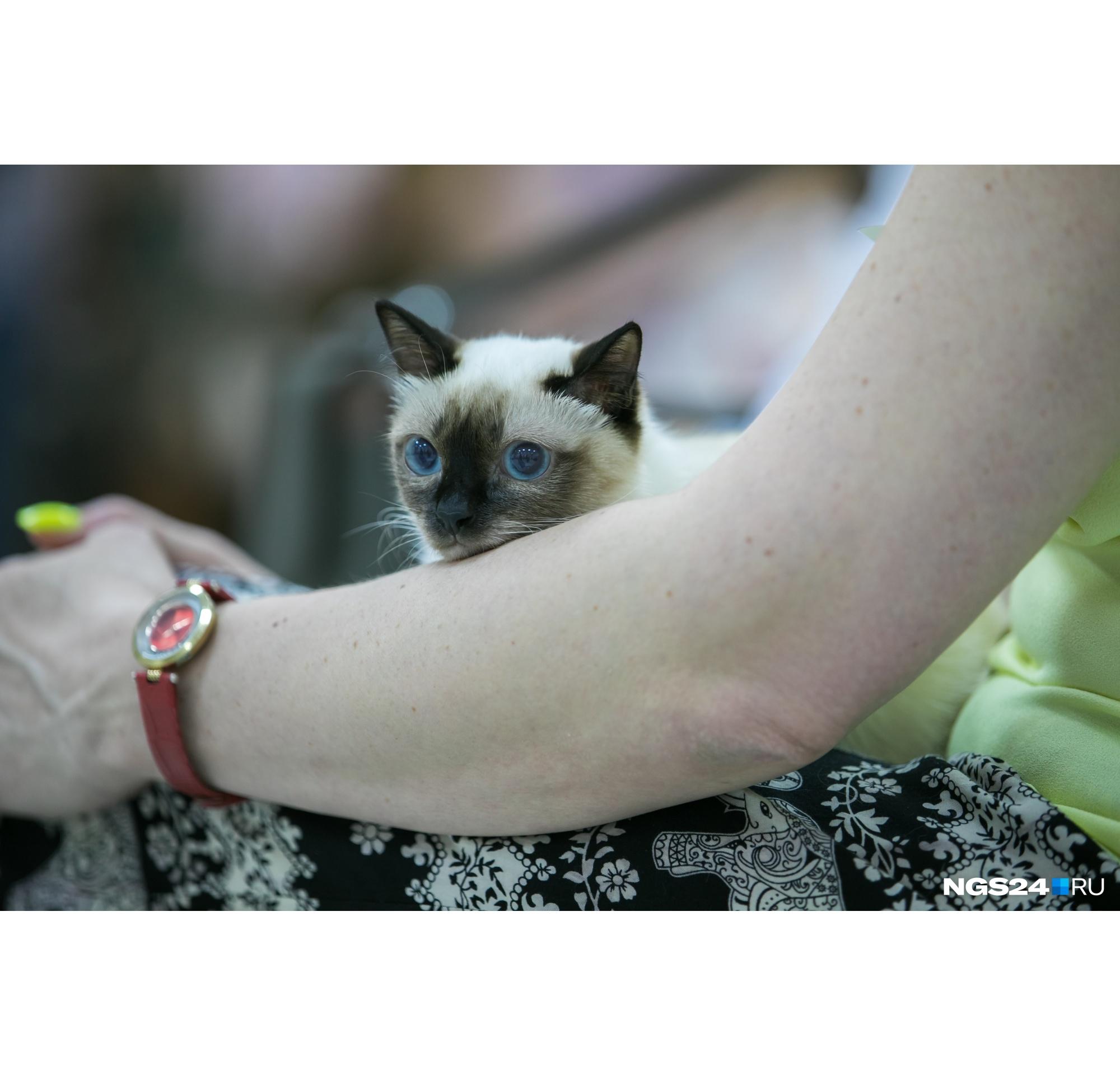 Если мечтаете, чтобы кошка всегда оставалась котенком, — заводите той-боба