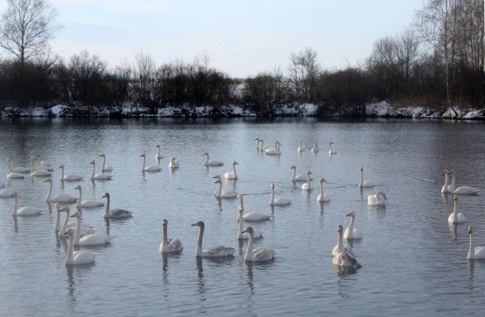 Алтайский заказник — один из двух в России, где зимуют лебеди-кликуны