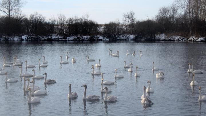 Лебединое озеро: на Алтай прилетели зимовать сотни кликунов c длинной шеей