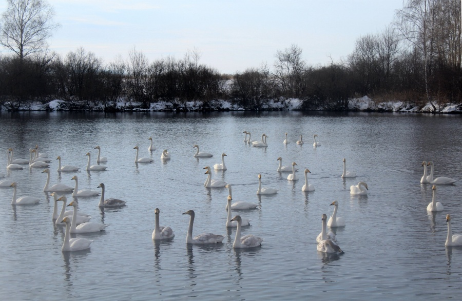 Лебеди начали слетаться назимовку нанезамерзающее озеро вАлтайском крае