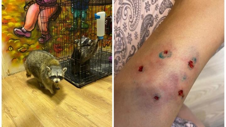 «Его глаза горели»: в контактном зоопарке Екатеринбурга на 8-летнюю девочку напал енот