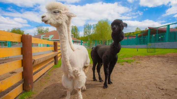 Нежные ламы со стрижками «под панков» принялись хвастаться перед посетителями зоопарка
