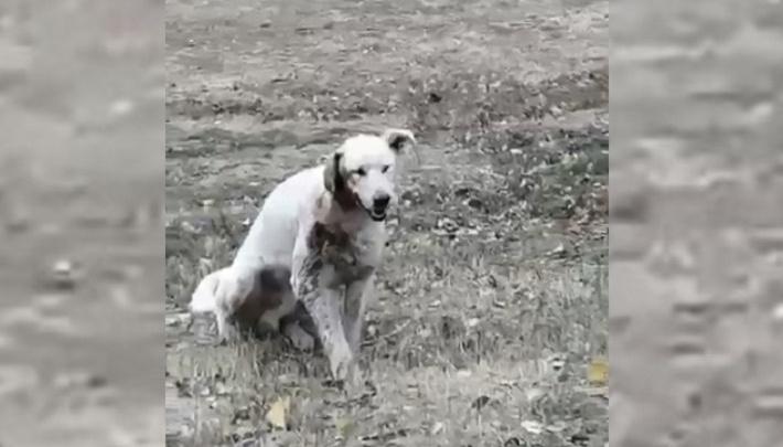 «Придется отрезать ухо»: в Волгограде живодеры расстреляли в упор одинокого бродячего пса