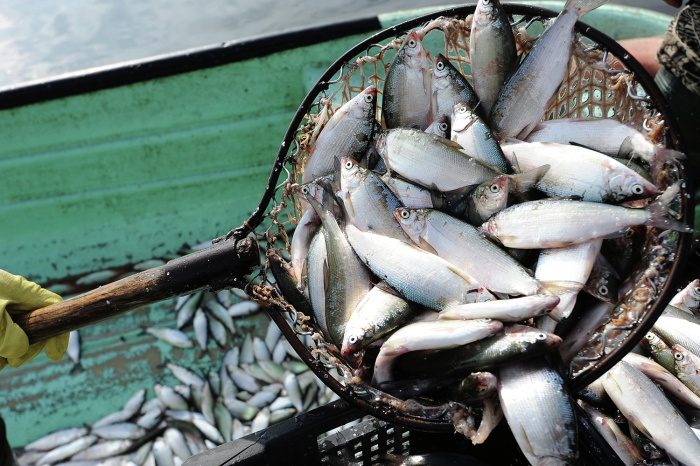 Новосибирской рыбой заинтересовалась Франция
